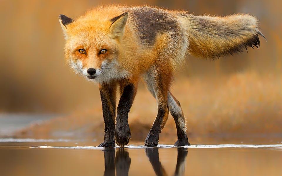 Red fox фото 78744 фотография